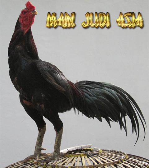 warna bulu ayam bangkok