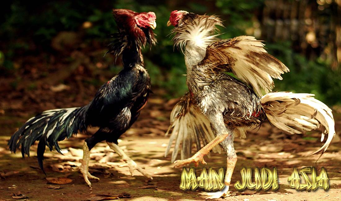 gaya bertarung ayam bangkok