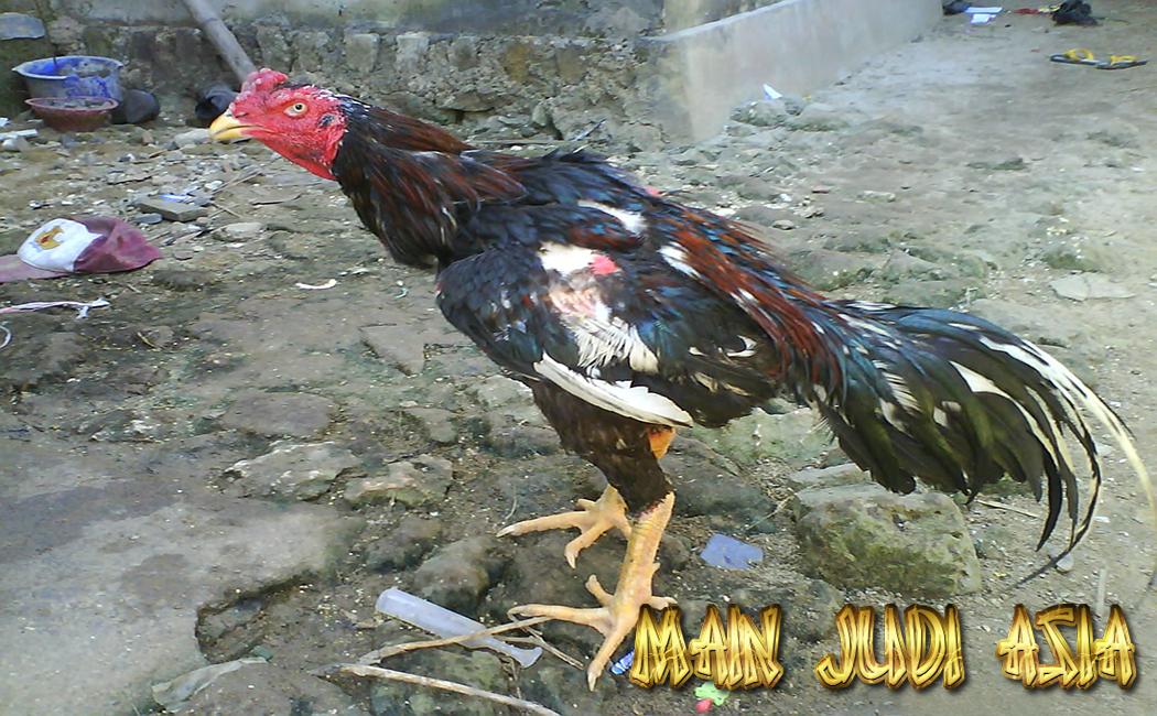 mengatasi dan mencegah kerontokan bulu ayam