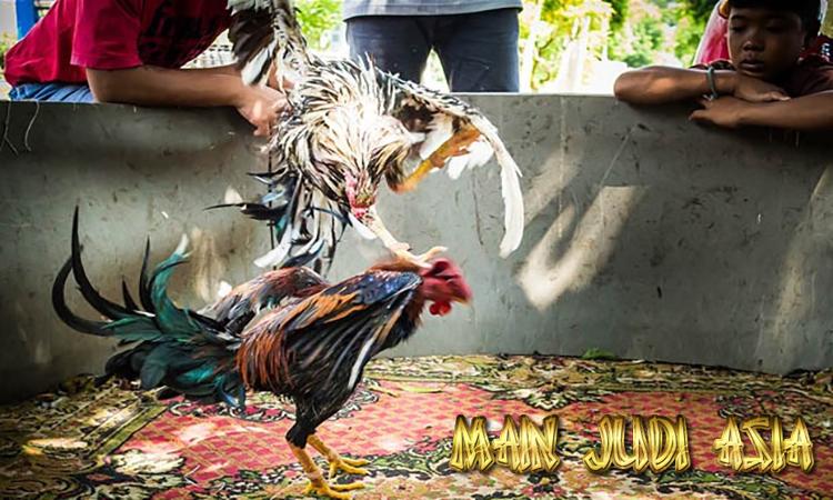 teknik melatih ayam bangkok aduan